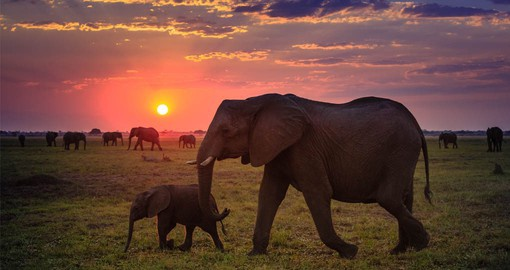 Northern Botswana is the elephant capital of the world, with more than two thirds of the entire population of Africa