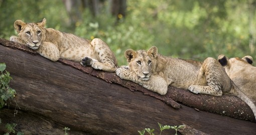 Lion cubs lying on a fallen tree makes for a great photo opportunity while on your Lake Nakuru National Park safari.