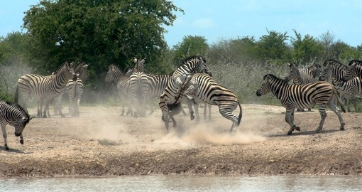 Two zebras fighting for rank alongside a water hole in Nxai Pan National Park