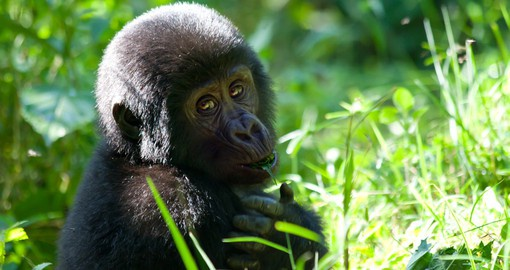 See young Gorillas playing during your Uganda safari