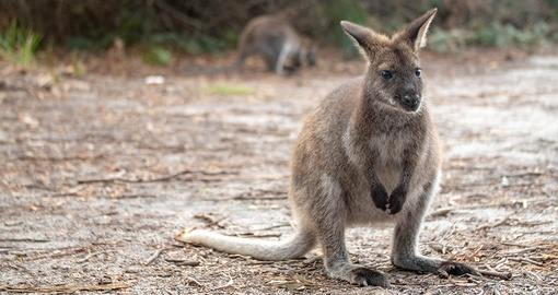Bennett's Wallaby's are native to Tasmania