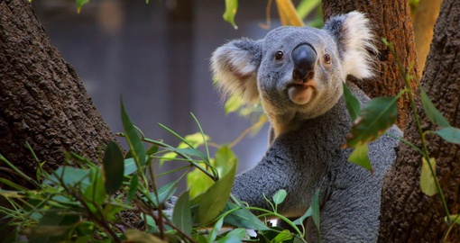 Visit with a Koala at the Australia zoo on your next Australia tour