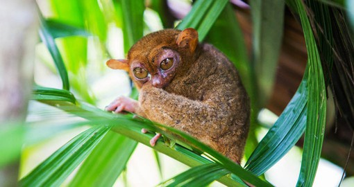Locate Tarsiers in the trees on Bohol as part of your Philippines Vacation.