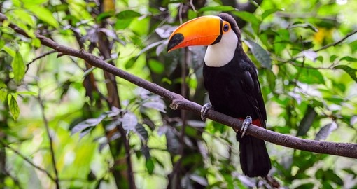 Look for colourful toucans on your trip to Brazil