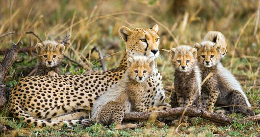 Tanzanian cheetahs are the oldest and largest of the species