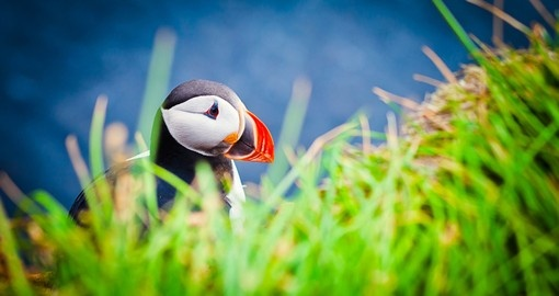 An Atlantic Puffin