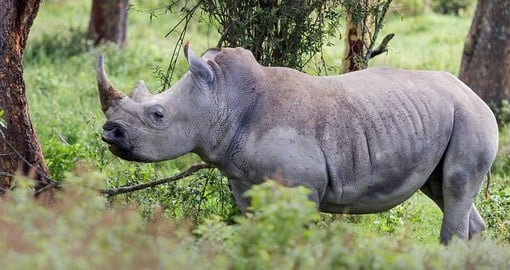 Rhinoceros at Lake Nakuru National Park