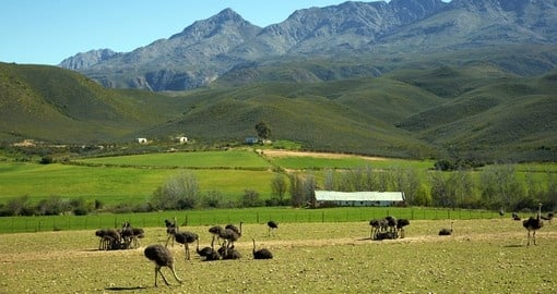 Discover Ostrich Farm in Oudtshoorn during your next trip to South Africa.