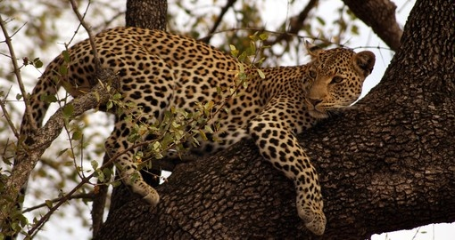 Leopard in a Tree, Kruger National Park