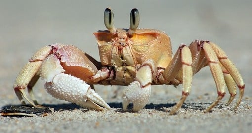 A sea crab on zanzibar island
