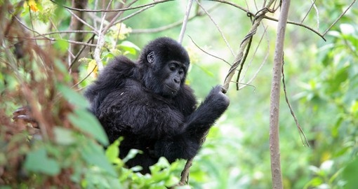 Eastern mountain gorilla baby in rain the forest
