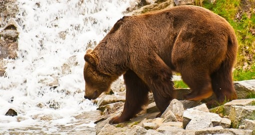 A brown bear hunting near a waterfall