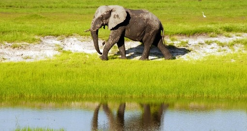 Dirty african elephant in wild grass savanna, Botswana