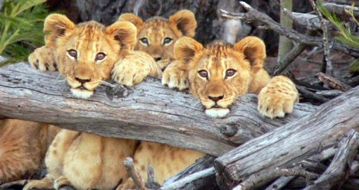 Meet the resident Pride of Lions at Lalibela Game Reserve on your trip to South Africa