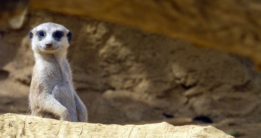Meerkat groups, know as mobs, live in the dry, open plains of the Kalahari