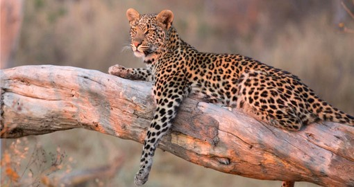 Your Botswana safari takes you to the Okavango Delta, home of Leopards and other members of Africa's Big %