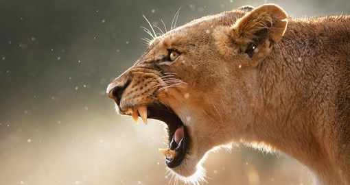 Lioness displays dangerous teeth during light rainstorm in Kruger National Park, but it makes for a great photograph on your South Africa safari.