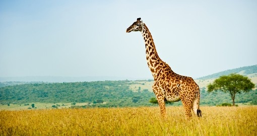 Giraffe looking out of the plain in Masai Mara National Reserve during your next trip to Kenya.