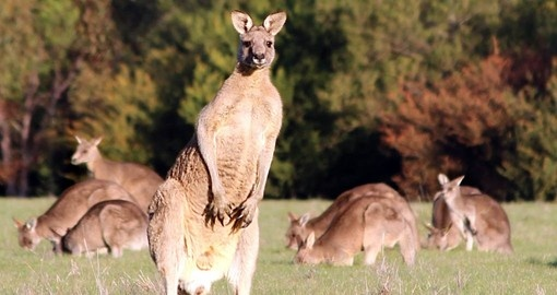 Your trip to Australia would not be complete without seeing Kangaroos