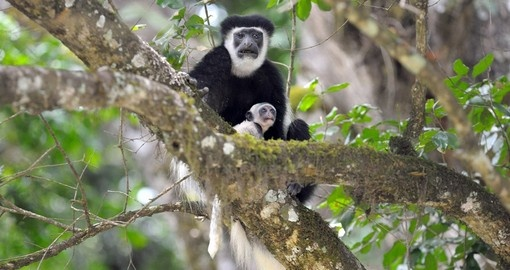 White Colobus monkey - Arusha National Park
