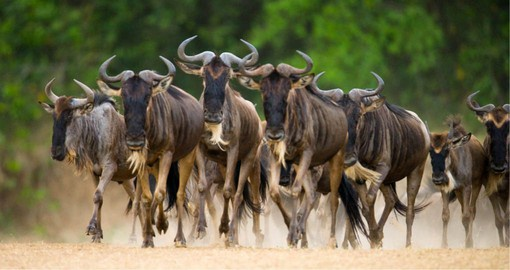 The annual Wildebeest migration is one of the world's most spectacular natural events