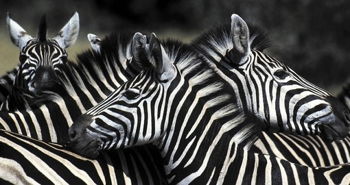 The distinctive black and white striped coats of the Zebra will be a common site on all African safari tours.