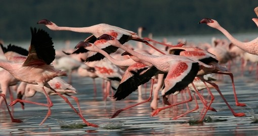 Lesser flamingos make for a great photo opportunity while on your Kenyan safari.