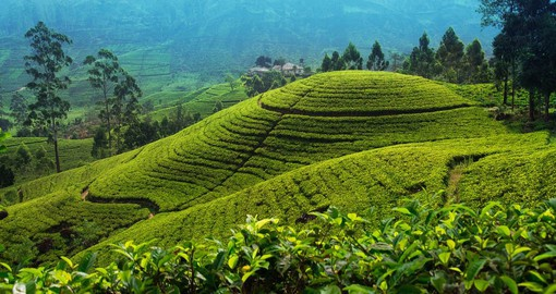 Learn about the lives of tea farmers and the efforts that go into growing a widely consumed drink while Travelling to Sri Lanka