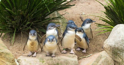 Experience the magic of little penguins returning home to one of the largest penguin colonies in Australia