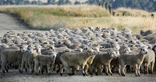 A mob of hoggets might become a traffic hazard during your next New Zealand tours.