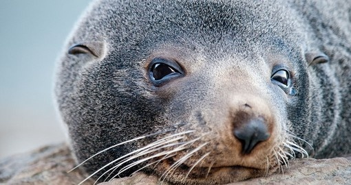 Get up close with a New Zealand Fur Seal