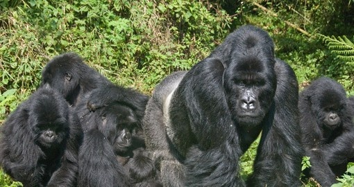 Meet Gorilla Family and watch how they interact on your next trip to Rwanda.