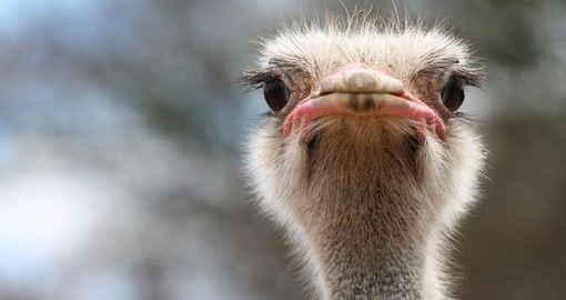 Meet a friendly ostrich on your South Africa Tour