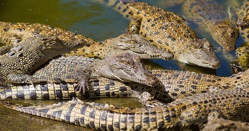 Juvenile saltwater crocodiles at a commercial crocodile farm
