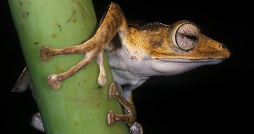 The masked tree frog