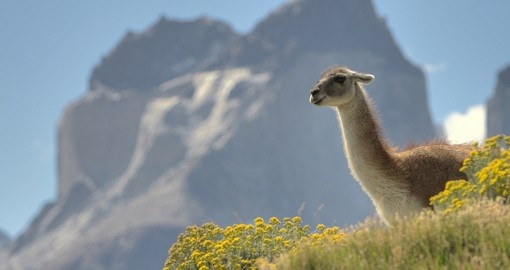 A Guanaco hanging out