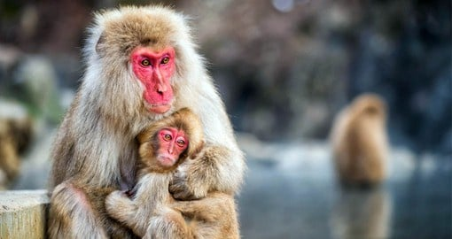 Female Japanese macaques remain with the social group into which they are born for life