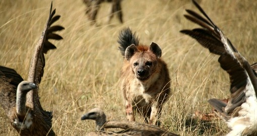 Spotted Hyena chasing unwelcome vultures