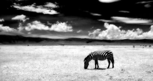 A zebra in Ngorongoro Crater