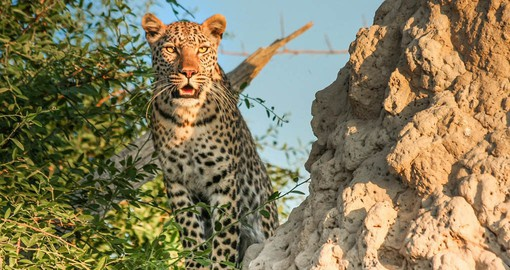 Proclaimed in 1963, Moremi Game Reserve is the oldest reserve of the Okavango Delta