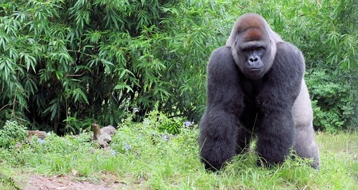 A large silverback mountain gorilla - the ultimate photo opportunity on your Rwanda gorilla trek.