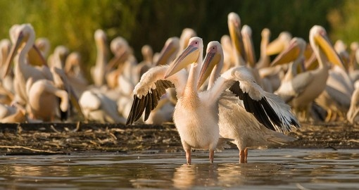 Pelican group on Lake Chamo