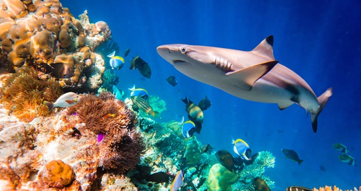 Reef Shark on the Great Barrier Reef
