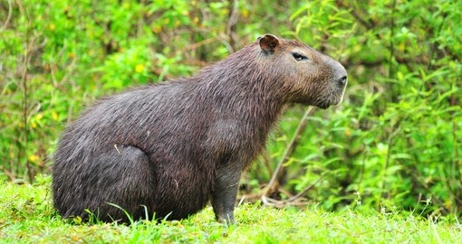 Large capibara male