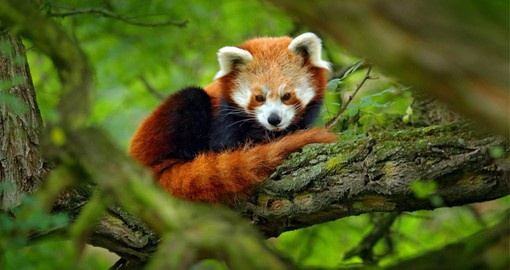 The red panda is slightly larger than a domestic cat with a bear-like body and thick red fur