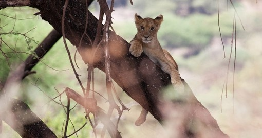 A young lion relaxing up in a tree makes for a great photo opportunity while on your Lake Manyara safari.