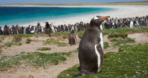 Hang out with different penguin species that are littered throughout Falkland Islands on your Antarctica Vacation