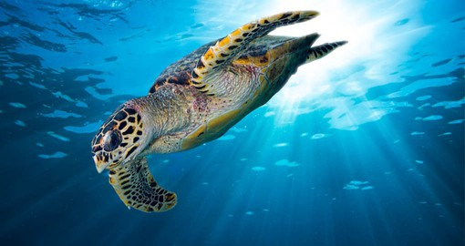 The coral reefs support an abundance of marine life including the Hawksbill Sea Turtle