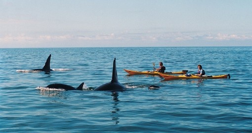Orcas enjoying the company of kayakers