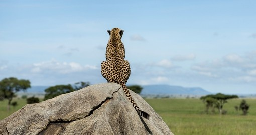 Cheetah sitting on a rock and watching the Serengeti